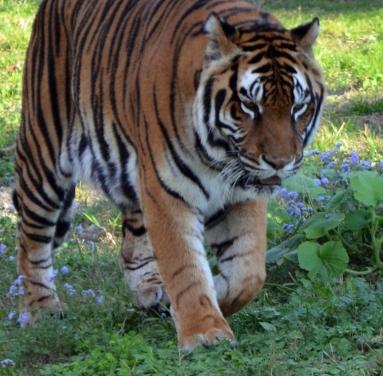 Tiger5